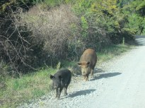 Wild pigs on back road
