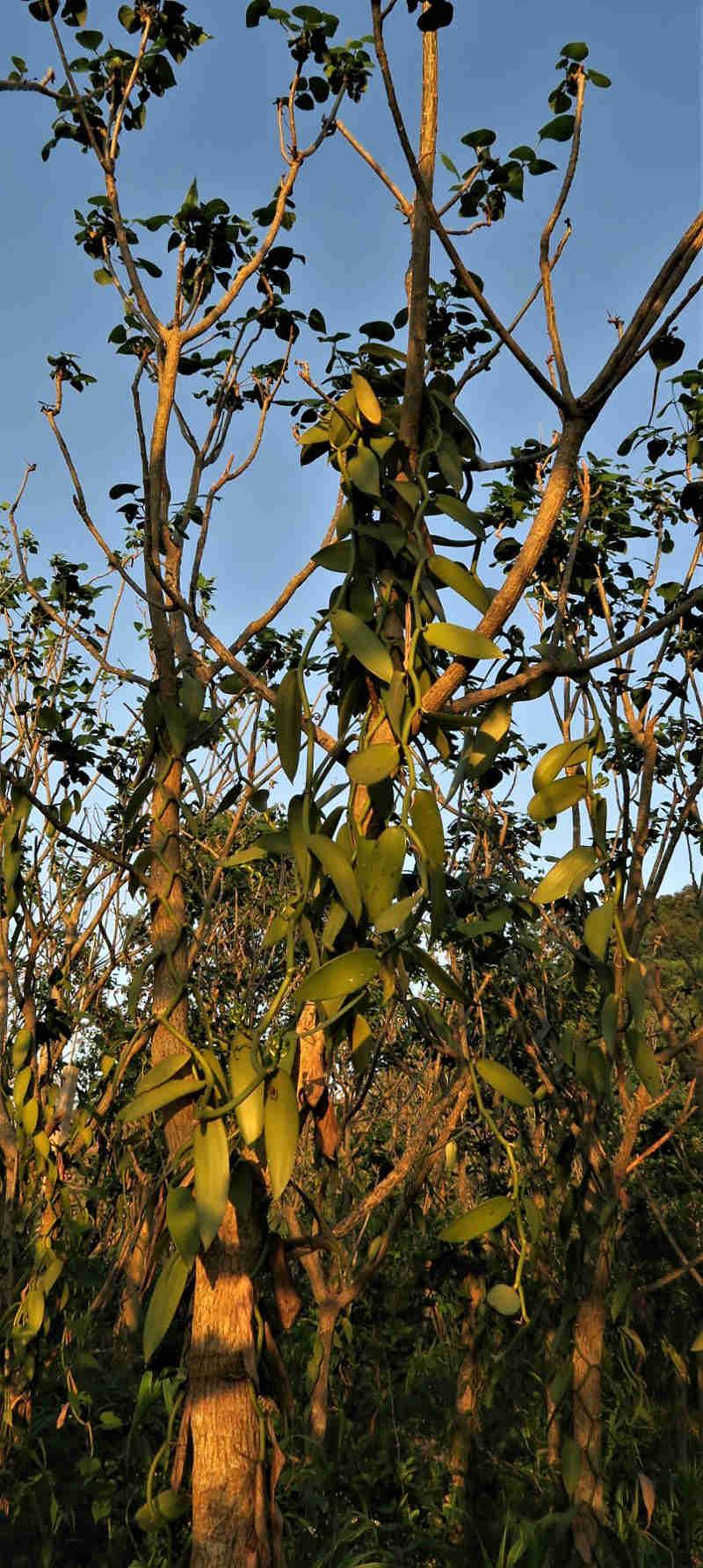 Die Vanille ist eine klassische Kletterpflanze