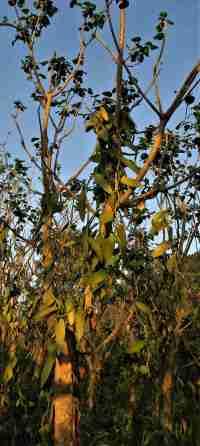 Vanille Feld Pflanze web - Veracruz - Auf den Spuren der Vanille in Papantla