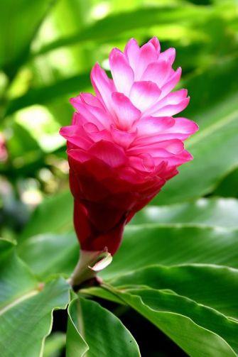 Alpinia purpurata : Tout savoir sur le opuhi, également appelé gingembre rouge