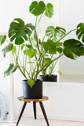 Philodendron 02