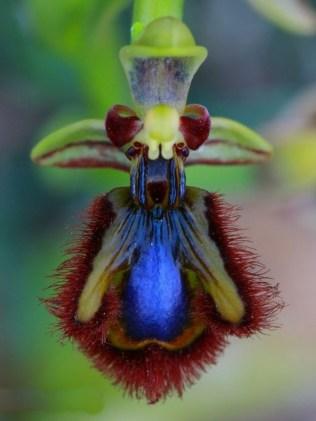 orchidée-rare-le-mimétisme-des-orchidées-sauvages