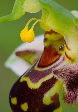 orchidée-rare-orchidée-abeille-ressemblant-à-un-etre-sympathique-e1479476031746