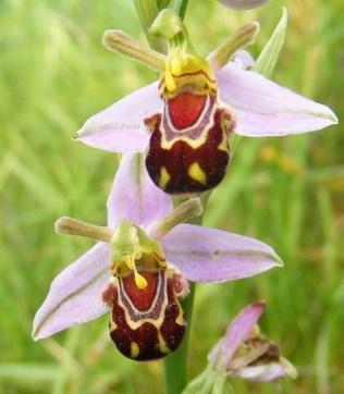 orchidée-rare-orchidée-abeille-rose-mimicrie-des-fleurs