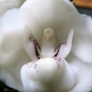 orchidée-rare-orchidée-pigeon-blanche-merveilles-de-la-nature