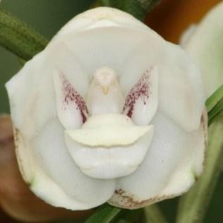 orchidée-rare-orchidée-pigeon-les-orchidées-déguisées