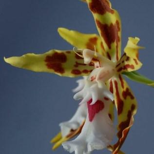 orchidée-rare-orchidée-poulpe-orchidées-qui-semblent-a-animaux