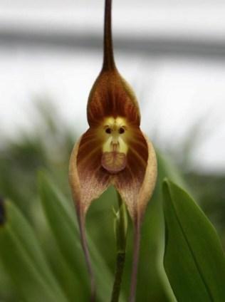orchidée-rare-orchidée-tete-de-singe-orchidées-