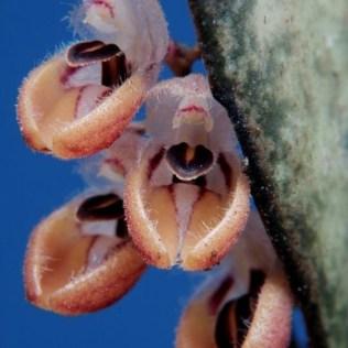 orchidée-rare-orchidées-phénomenales-du-monde