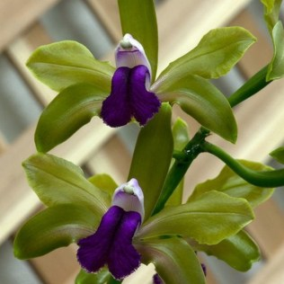 orchidée-rare-orchidées-sauvages-fantastiques