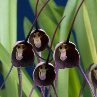 orchidée-rare-orchidées-tetes-de-singes-les-fleurs-bizarres