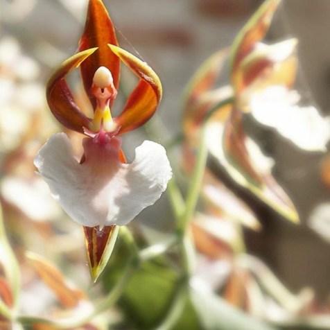 orchidée-rare-une-danseuse-orchidée-déguisée-comme-ballerine