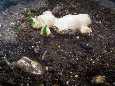 comment-faire-pousser-gingembre-dans-bac-pot-terre