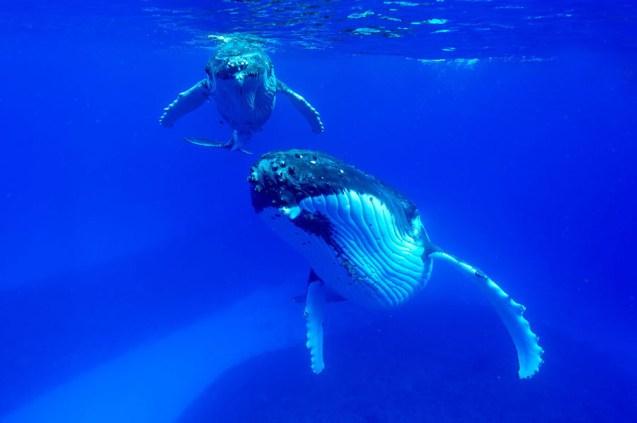 2-Mum-and-baby-humpback-hang-facing-the-photographer_CS28474