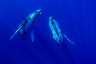 8-Two-humpback-whales-in-the-deep-blue_CS22151