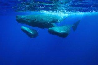christopherswann8Spermwhales