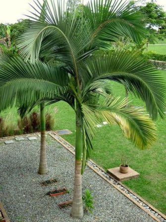Comment tailler un palmier ?