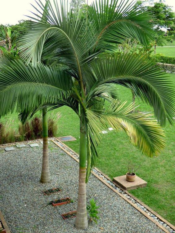 Comment tailler un palmier moving tahiti - Comment couper un palmier mort ...
