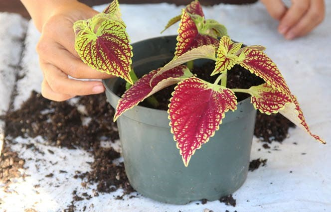 grow-coleus-propagate-root-coleus-cuttings-care-best-varieties-1 (2)