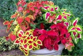 grow-coleus-propagate-root-coleus-cuttings-care-best-varieties-1 (3)