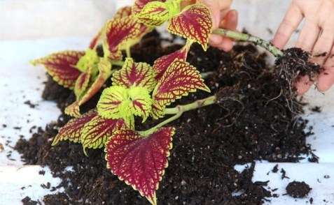 grow-coleus-propagate-root-coleus-cuttings-care-best-varieties-2 (3)