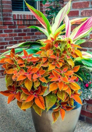grow-coleus-propagate-root-coleus-cuttings-care-best-varieties-3 (3)