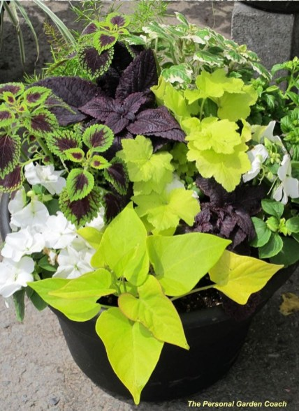 grow-coleus-propagate-root-coleus-cuttings-care-best-varieties-4 (2)