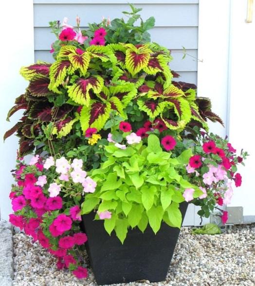 grow-coleus-propagate-root-coleus-cuttings-care-best-varieties-4 (3)