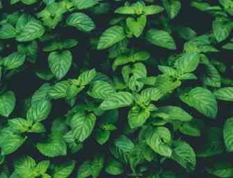 Comment faire pousser de la menthe dans votre jardin et dans votre cuisine ?