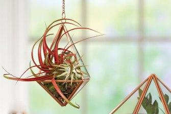 Les «filles de l'air» ou Tillandsias, la nouvelle tendance de plante d'intérieur