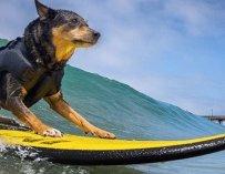 Cowabunga ! Quand les chiens participent à une compétition de surf