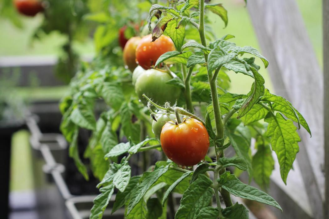 maximum-yield-balcony-container-garden-tomatoes