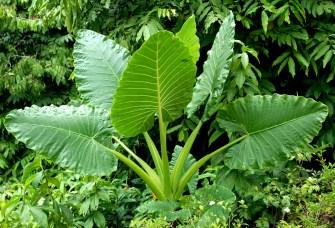 Connaissez-vous toutes vertus des feuilles de taro ?
