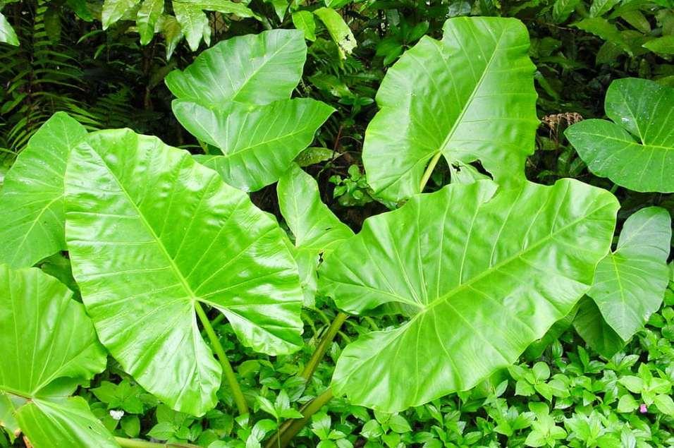 Taro-feuilles