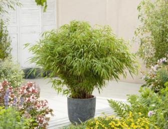 Comment cultiver des bambous en pots ?