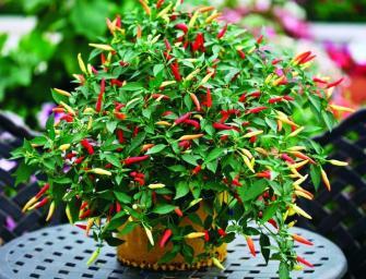 Comment cultiver des piments en pot ?