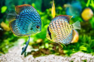 two fish in aquarium