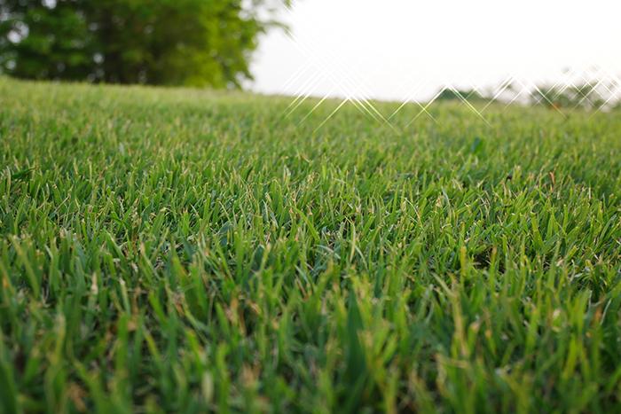 бермудская трава