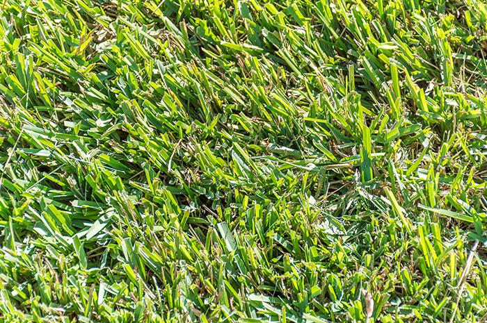 сороконожка трава