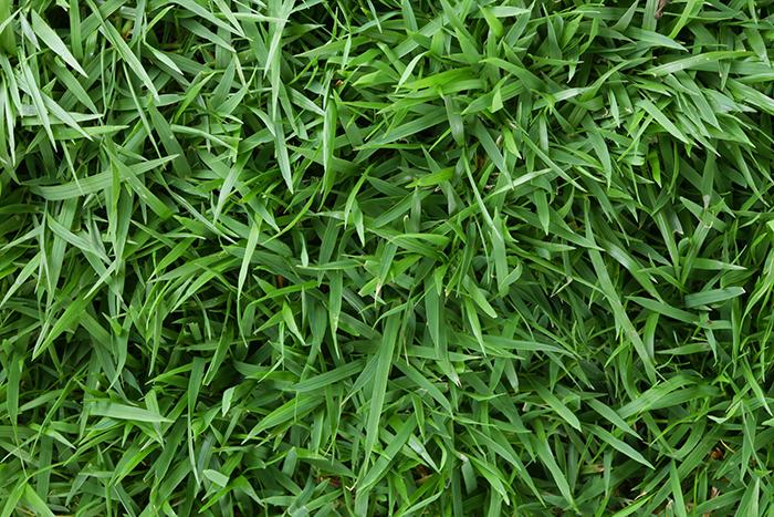 зойсия трава