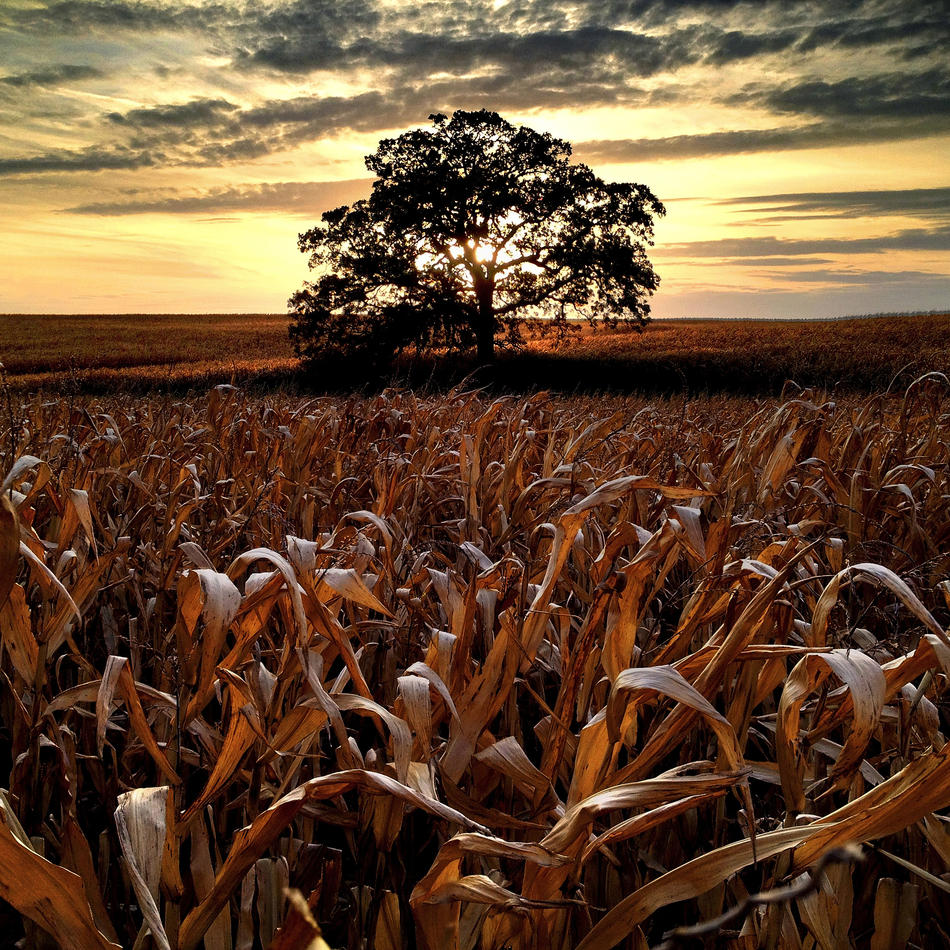 Day 200, October 9, 2012. In what is probably one of my last photographs of That Tree with corn still standing in the field, I wanted to make one last sunset photo before the harvest.