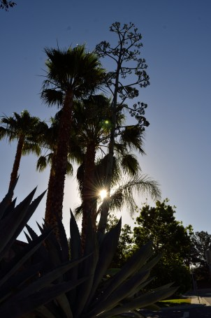 Such a southern California picture, with palms and a century plant silhouetted against the rising sun.