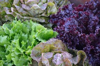 Lettuce varietals can make a lovely salad.