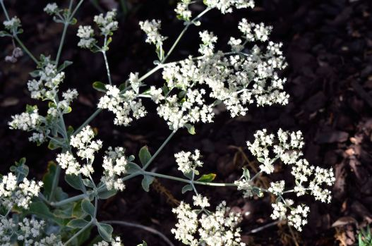 St Catherine's Lace 01