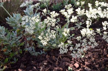 St Catherine's Lace 05