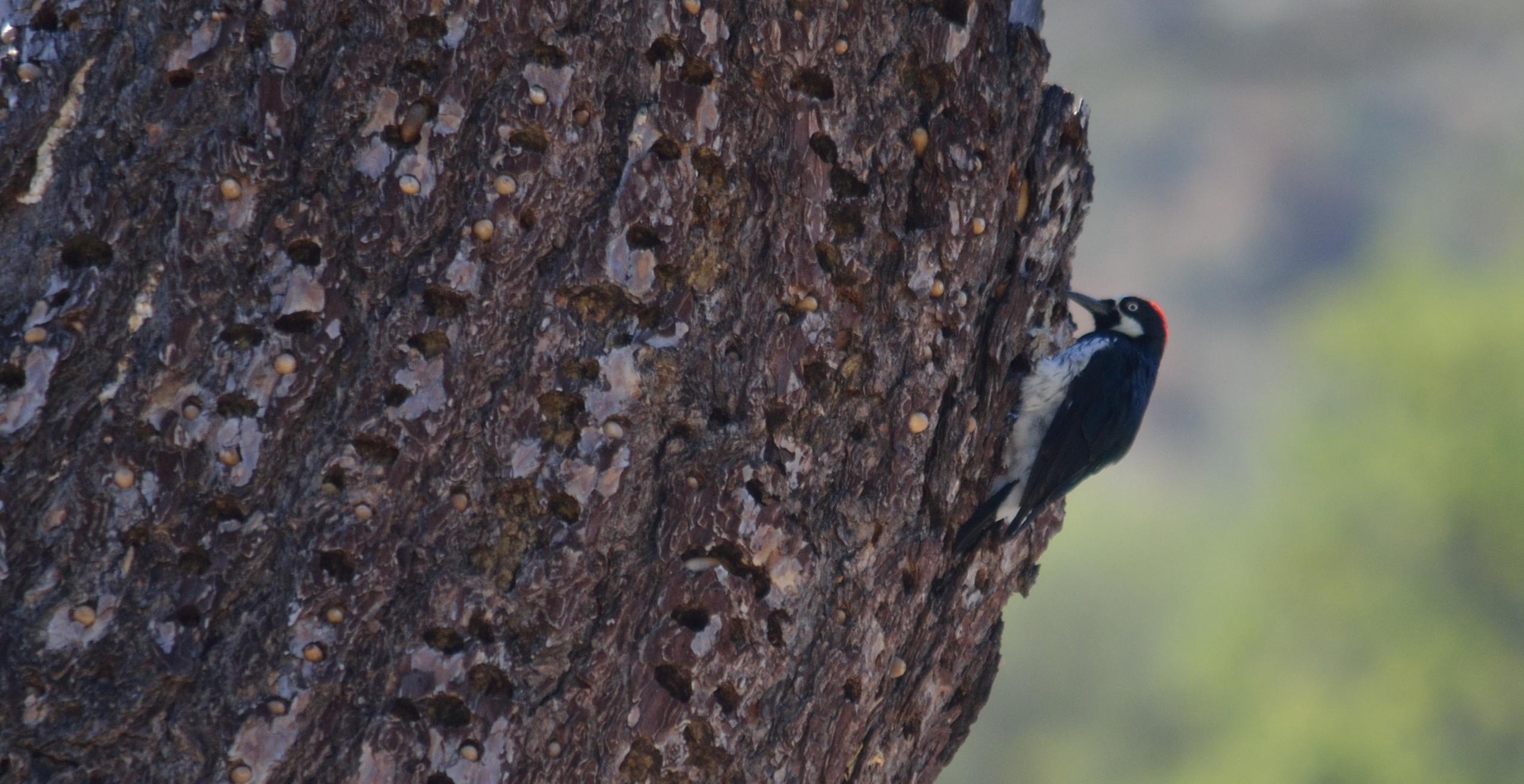 Acorn Woodpecker Melanerpes Formicivorus  Mowryjournalcom