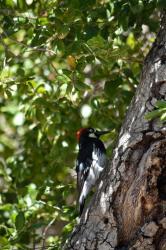 Acorn Woodpecker 04