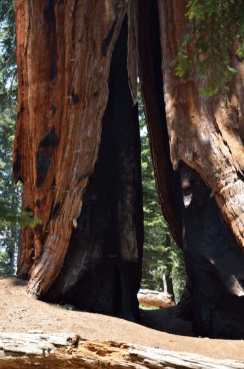 Fires seldom kill sequoias. Their wood does not burn easily due to the high tanin content ... so the fires typically burn themselves out, leaving a scarred tree behind.