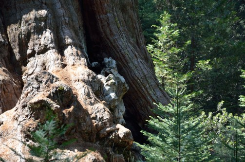 Sequoias are amazing.