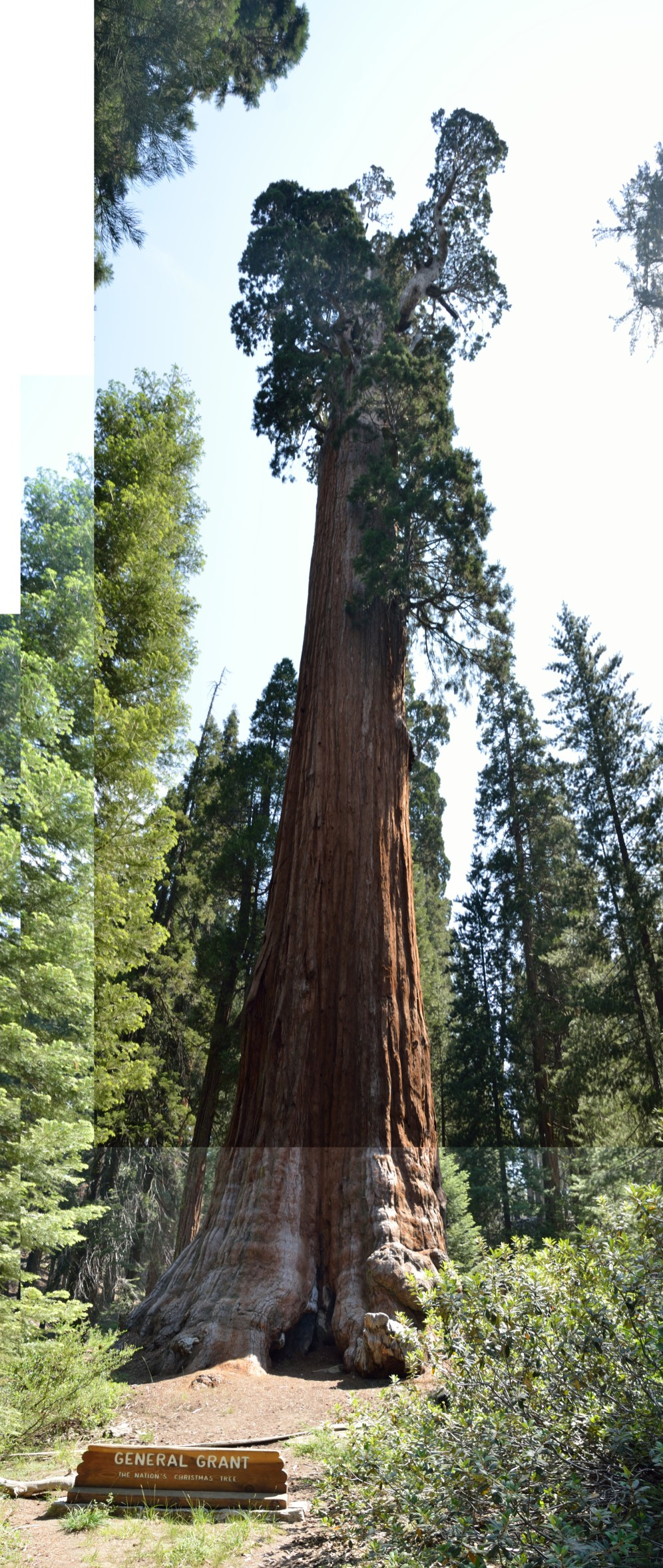A composite image of the General Grant tree. 267' tall.